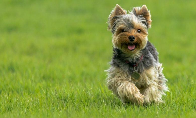 pet running on artificial grass